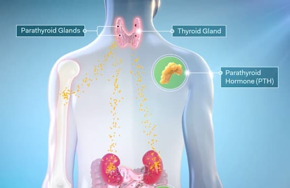 Image of body showing parathyroid and thyroid glands where PTH is secreted.